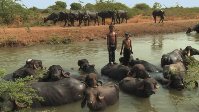 WS ZI Two boys with black cows in river / Rajkot, India