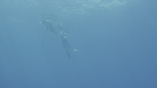 UW two breath hold divers one with gun one with camera, Guadalupe Island, 2012