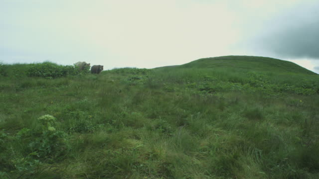 Two brown bears appear over top of grassy hill, McNeil River Game Range, Alaska, 2011