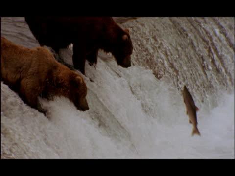 stockvideo's en b-roll-footage met slo mo, ms, two brown bears fishing for salmon in falls, katami national park, brooks camp, alaska, usa  - bruine beer