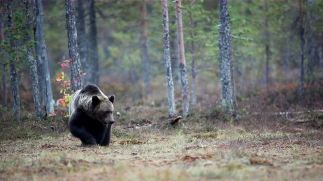ws two brown bears walking in the forest / juntivaara, oulu, finland - bear stock videos and b-roll footage