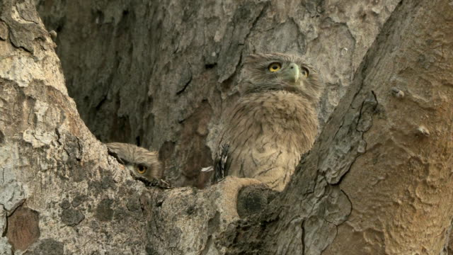 ms la two brown fish owl chicks (bubo zeylonensis or ketupa zeylonensis) on tree / madhya pradesh, india - kamouflage bildbanksvideor och videomaterial från bakom kulisserna