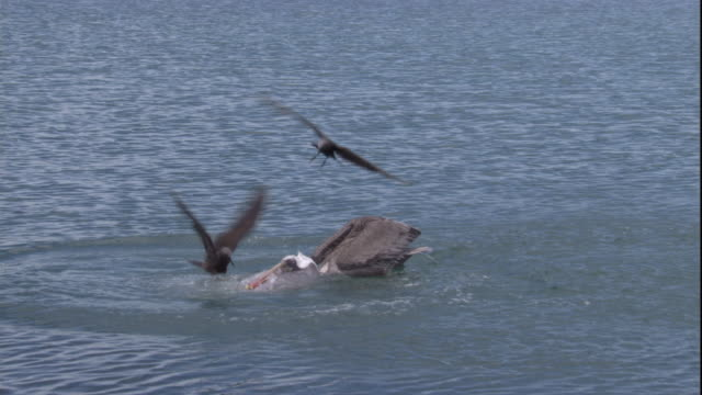 two brown noddies land on the head of a brown pelican to steal the fish it just dove in the water for. available in hd. - pelikan bildbanksvideor och videomaterial från bakom kulisserna