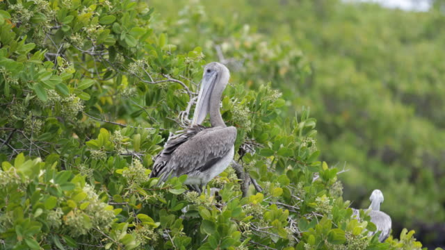 Two brown pelicans sitting in green trees, branches moving slightly in the wind, Santa Cruz, Galápagos, Ecuador