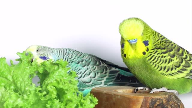 vidéos et rushes de deux budgies manger salade - perruche ondulée