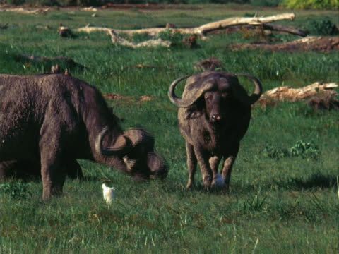 two buffalo - medium group of animals stock videos & royalty-free footage