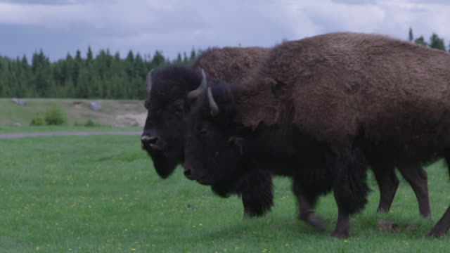 two buffaloes walking and grazing - american bison stock videos & royalty-free footage