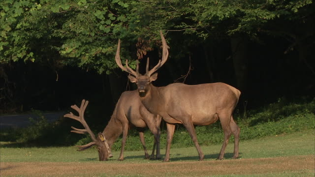 two bull elk graze in a grassy clearing in the appalachian mountains. - grasen stock-videos und b-roll-filmmaterial