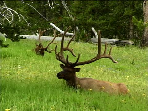 vídeos y material grabado en eventos de stock de two bull elk in a mountain meadow - herbívoro