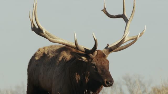 two (2) bull elk with large antler racks, graze on hillside. - ヘラジカ点の映像素材/bロール