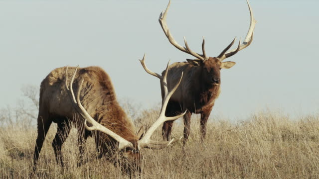 two (2) bull elk with large antler racks, graze on hillside. - antler stock videos & royalty-free footage