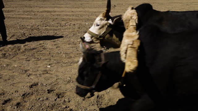 two bulls carrying a plough - 牛車点の映像素材/bロール