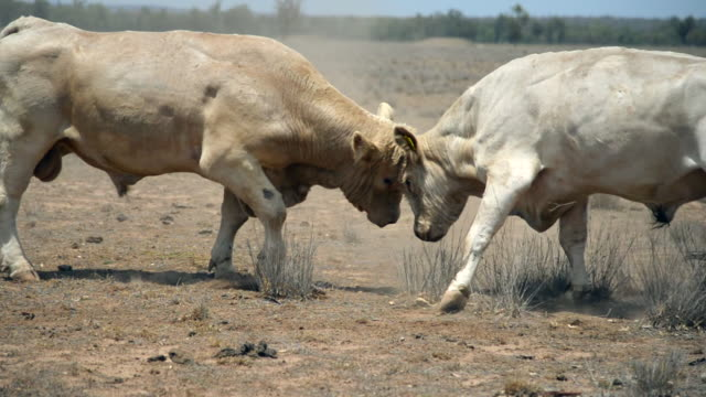 two bulls fighting - male animal stock videos & royalty-free footage