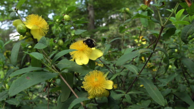 vídeos de stock, filmes e b-roll de two bumble bees fly around yellow flower blooms, high speed - mangangá