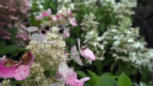 two bumble bees foraging on flowers - foraging stock videos and b-roll footage