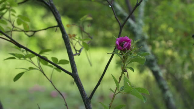 two bumble bees scuffling over swamp rose, wide high speed - taking off stock-videos und b-roll-filmmaterial