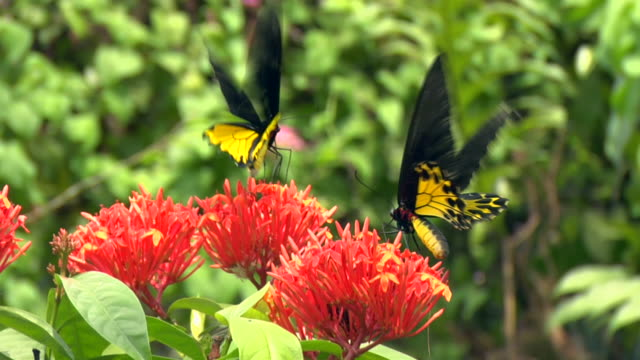 ms two butterflies at flower in butterfly park / kuala lumpur, malaysia - malaysia stock videos & royalty-free footage