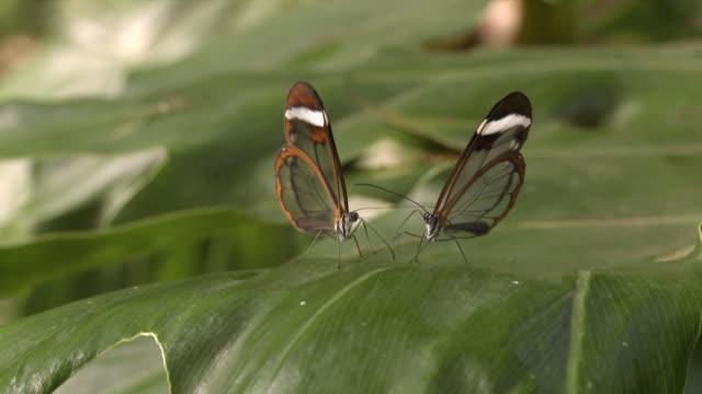 vídeos y material grabado en eventos de stock de cu r/f two butterflies sitting on leave together / cape winelands, western cape, south africa - cabo winelands