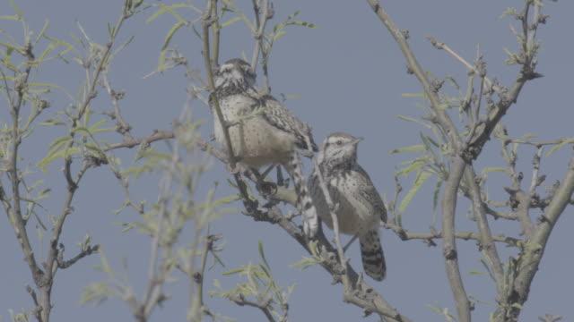 two cactus wrenin acacia tree together. - cactus wren stock videos & royalty-free footage