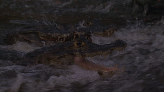 two caimans fight over a fish in a rushing river - カイマン点の映像素材/bロール