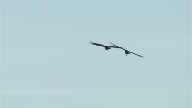 Two California condors gliding together in the sky