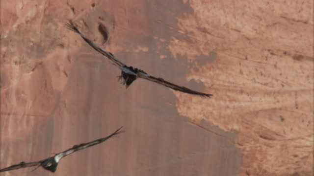two california condors gliding together - rock face stock videos & royalty-free footage