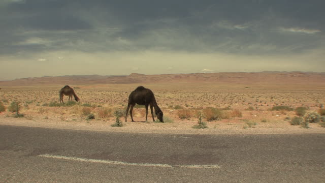 ws two camels grazing in desert by roadside, ait aissa oubrahim, morocco - 道ばた点の映像素材/bロール