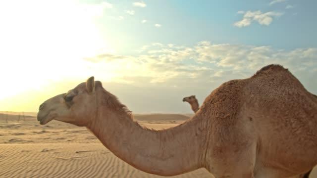 zwei kamele in der wüste ws - oman stock-videos und b-roll-filmmaterial