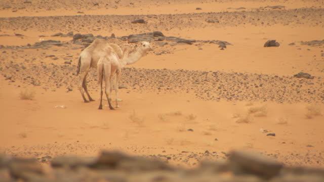 vídeos de stock, filmes e b-roll de two camels stand in the desert near nuri in sudan.  - sudão