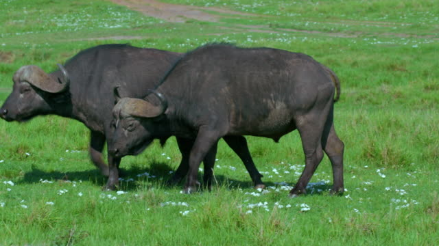 two cape buffalo walking maasai mara, kenya, africa - アフリカンバッファロー点の映像素材/bロール