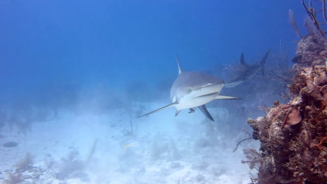 Two Caribbean Reef Sharks