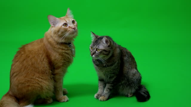 two cat - two animals stock videos & royalty-free footage