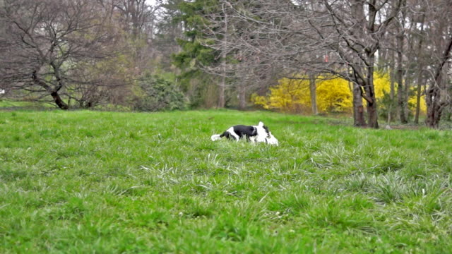 two cavalier spaniels playing on the grass in slow motion - cavalier king charles spaniel stock videos and b-roll footage
