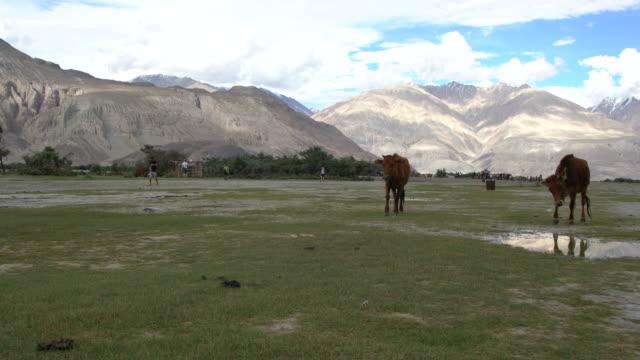 vídeos y material grabado en eventos de stock de two caws grazing at nubra valley in ladakh, india - comportamiento de animal