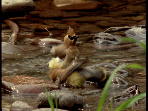 Two cedar waxwings bathe in stream, Montana