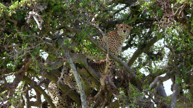 Two Cheetahs In Tree, Masai Mara, Kenya, Africa