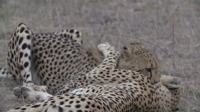 ms two cheetahs playing and grooming each other / kruger national park, mpumalanga, south africa - mpumalanga province stock videos and b-roll footage
