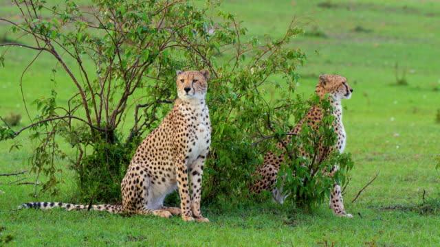 Two Cheetahs Sat After Heavy Rain, Masai Mara, Kenya, Africa