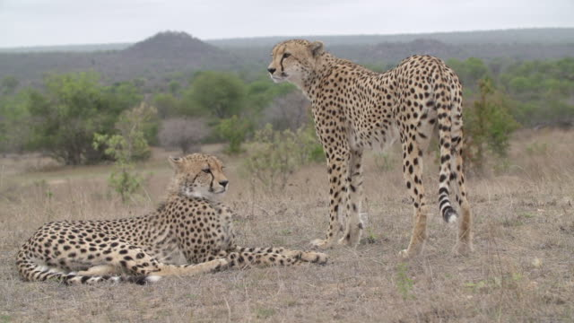 WS Two cheetahs watching the horizon / Kruger National Park, Mpumalanga, South Africa