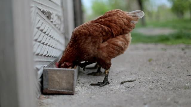 deux poulet manger dans un yard