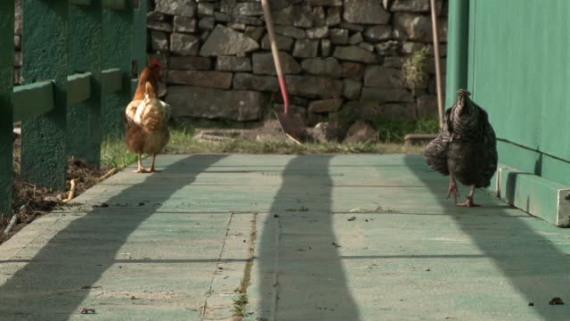 two chickens walk on concrete - claw stock videos & royalty-free footage