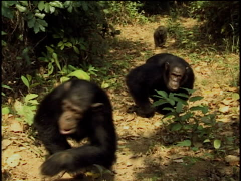 ms, two chimpanzees (pan troglodytes) and olive baboon (papio anubis) climbing up footpath in forest, gombe stream national park, tanzania - liten djurflock bildbanksvideor och videomaterial från bakom kulisserna