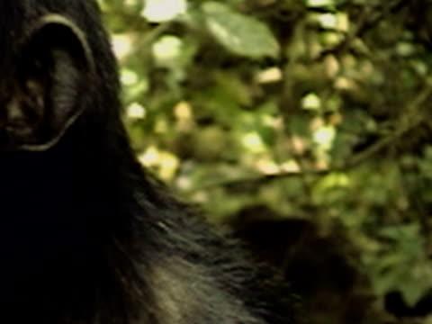 vídeos y material grabado en eventos de stock de cu, pan, two chimpanzees (pan troglodytes) eating, mother carrying young on back passing in background, gombe stream national park, tanzania - parque nacional de gombe stream