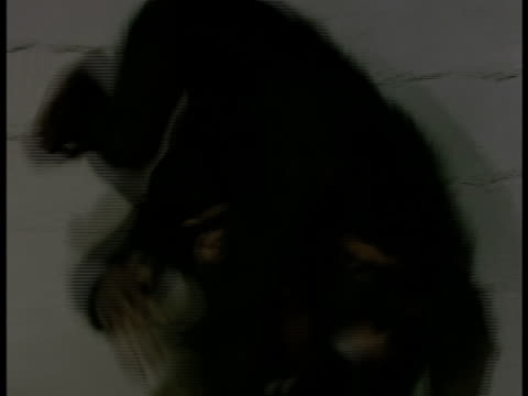 two chimpanzees in a cage tangle with each other. - zoo stock-videos und b-roll-filmmaterial