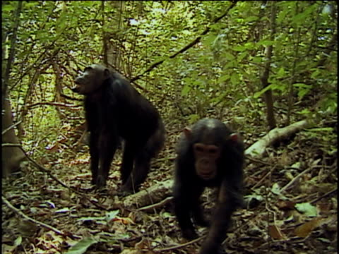 ws, ecu, two chimpanzees (pan troglodytes) in forest, young  approaching and licking camera, gombe stream national park, tanzania - tongue stock videos and b-roll footage