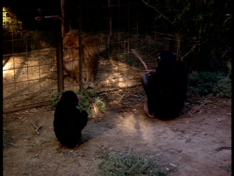 Two chimpanzees play outside of a lion's cage.