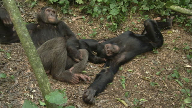 vidéos et rushes de ms ha two chimps relaxing on grass, ngamba island chimpanzee sanctuary, ngamba island, uganda - cadrage aux genoux