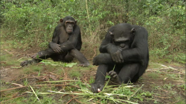 WS Two chimps sitting on grass, one leaving, Ngamba Island Chimpanzee Sanctuary, Ngamba Island, Uganda