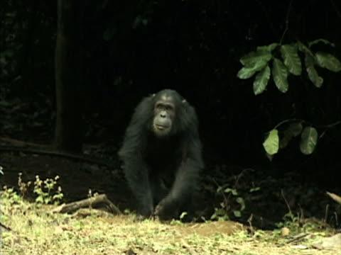 MS, Two chimps (Pan troglodytes) walking on field, Gombe Stream National Park, Tanzania