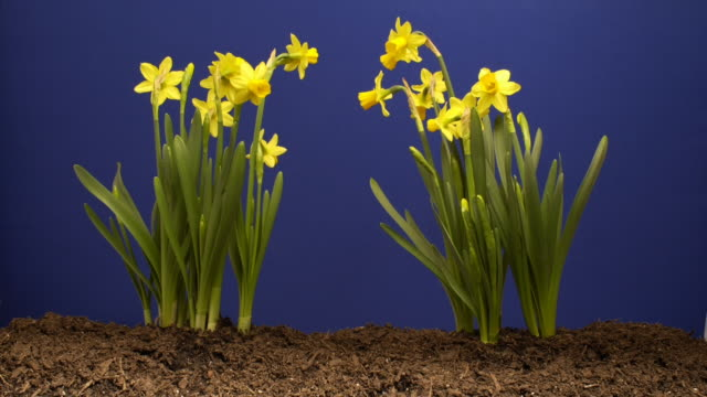 Two clusters of daffodils grow against a blue background. Available in HD.